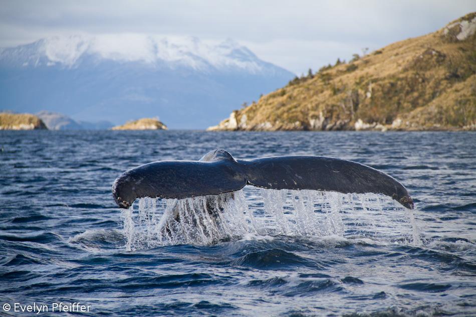 humpback wahle